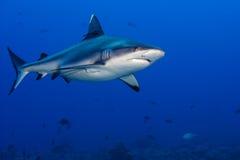 水下鲨鱼的攻击 免版税库存图片