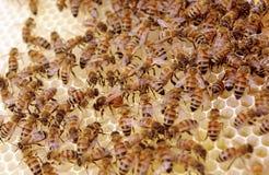 下鸡蛋的女王在与开盖的蜂蜜和巢细胞的新的巢框架 免版税库存照片