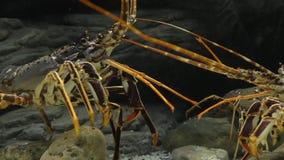 水下龙虾的战斗 股票视频