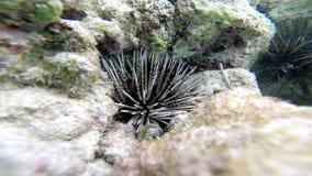 水下:海猬(门皮动物),特写镜头 影视素材
