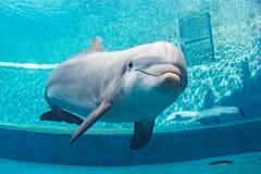 水下水族馆的海豚看您 库存图片