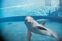 水下水族馆的海豚看您 免版税图库摄影