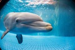 水下水族馆的海豚看您 免版税库存图片