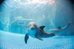 水下水族馆的海豚看您 库存照片