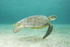 水下绿浪的乌龟 库存图片