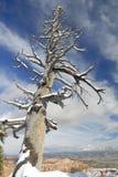 下bryce峡谷停止的雪结构树 免版税库存图片
