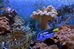 水下Paracanthurus的hepatus 免版税库存图片