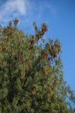 不丹杉木分支  库存图片