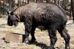 不丹-扭角羚的全国动物 免版税库存图片