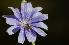 不倦地会集从一朵微小的蓝色花的蜂花粉 库存照片