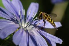 不倦地会集从一朵微小的蓝色花的蜂花粉 免版税库存图片