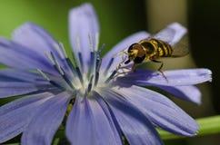 不倦地会集从一朵微小的蓝色花的蜂花粉 免版税库存照片