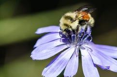 不倦地会集从一朵微小的蓝色花的蜂花粉 免版税图库摄影