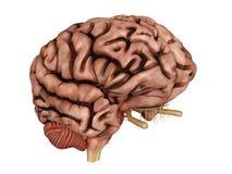 不健康的脑子 库存例证