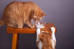 不分享猫互动的饮用奶 免版税库存图片
