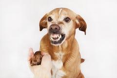 不友好的手和爪子震动,在明亮的背景的一条棕色狗 免版税库存图片