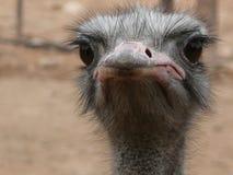 不友好的看的驼鸟 免版税库存照片