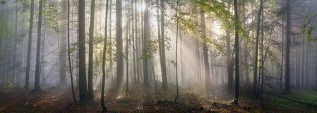 不可思议的喀尔巴阡山脉的森林在黎明 免版税库存照片