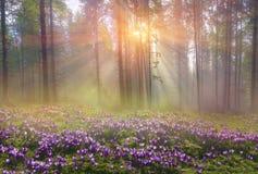 不可思议的喀尔巴阡山脉的森林在黎明 免版税库存图片