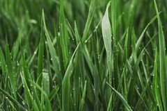 不可思议的夏天绿色草覆盖与纯净的露水 免版税图库摄影