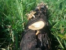 不可思议的家庭真菌在草甸 库存照片