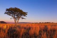 不可思议的日落在有一棵孤立树的非洲在小山和稀薄的云彩 免版税库存图片