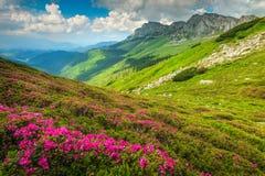 不可思议的桃红色杜鹃花在山, Bucegi,喀尔巴汗,罗马尼亚开花 图库摄影