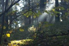 不可思议的秋天森林公园 美好的有太阳光芒、阴影和雾的场面有薄雾的老森林 免版税库存照片