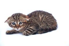 不可靠的小猫 免版税库存图片