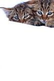 不可靠的小猫 免版税图库摄影