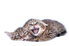 不可靠的小猫 库存图片