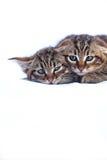 不可靠的小猫 免版税库存照片