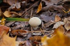 不可食的真菌 森林或公园 秋天背景特写镜头上色常春藤叶子橙红 免版税库存照片