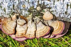 不可食的蘑菇或色的Polypore Coriolus -杂色拉特 库存图片