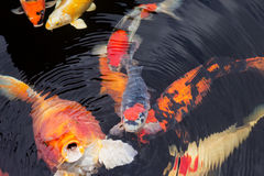 Kois在池塘 免版税图库摄影