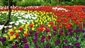 不同的品种和不同的充满活力的颜色美丽的郁金香的领域开花在春天庭院里的  ?? 股票录像