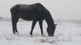 不同的品种马在冬天雪原,它吃草下着雪 股票录像