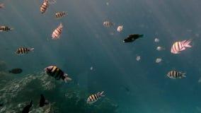 不同的大小五颜六色的美丽的鱼大品种在珊瑚礁的背景的 太阳的光芒通过 影视素材