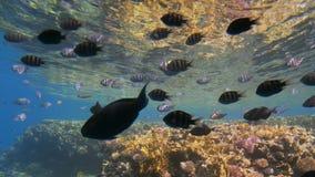 不同的大小很多五颜六色的热带鱼在照相机附近游泳 反对水表面的背景 股票录像