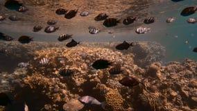 不同的大小很多五颜六色的热带鱼在照相机附近游泳 反对蓝色清楚的水背景和 影视素材