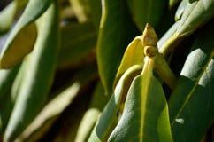 不同的杜鹃花植物 库存图片