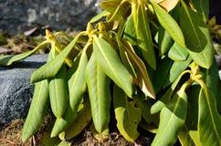 不同的杜鹃花植物 免版税图库摄影