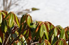 不同的杜鹃花植物 免版税库存照片
