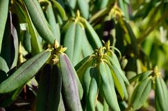 不同的杜鹃花植物 免版税库存图片