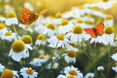 不同的美丽的蝴蝶振翼和坐柔和的贝拉米花雏菊的一个明亮的草甸在一个晴朗的夏天 图库摄影