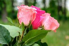 不同的颜色三朵玫瑰在花束的 免版税库存图片