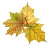 不同的颜色三片秋天槭树叶子在一白色backgro的 图库摄影