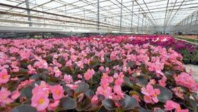 不同的颜色各种各样的美丽的花自温室 4K 股票录像