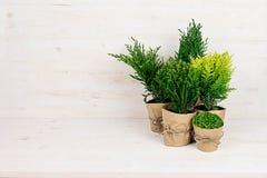 不同的年轻绿色针叶树植物的构成罐的有在米黄木桌上的拷贝空间的 免版税库存图片