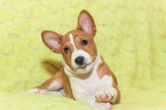 不咆哮的小狗非洲狗品种basenji 库存照片
